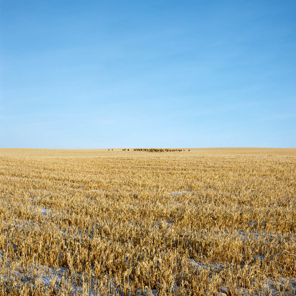 Herd of Deer, Alberta, 2006