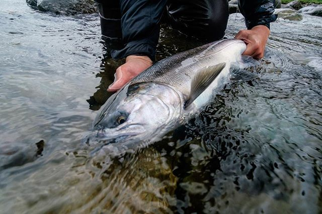 So fresh, so clean. Sea lice and all. #flyfishing #coho #salmon #fishing #fujifilm #bc #winstonflyrods #lamsonfleet