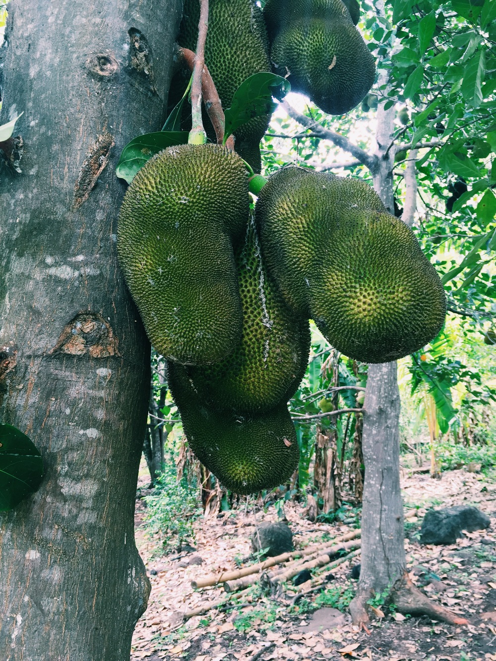 Jackfruit forest. AKA heaven!