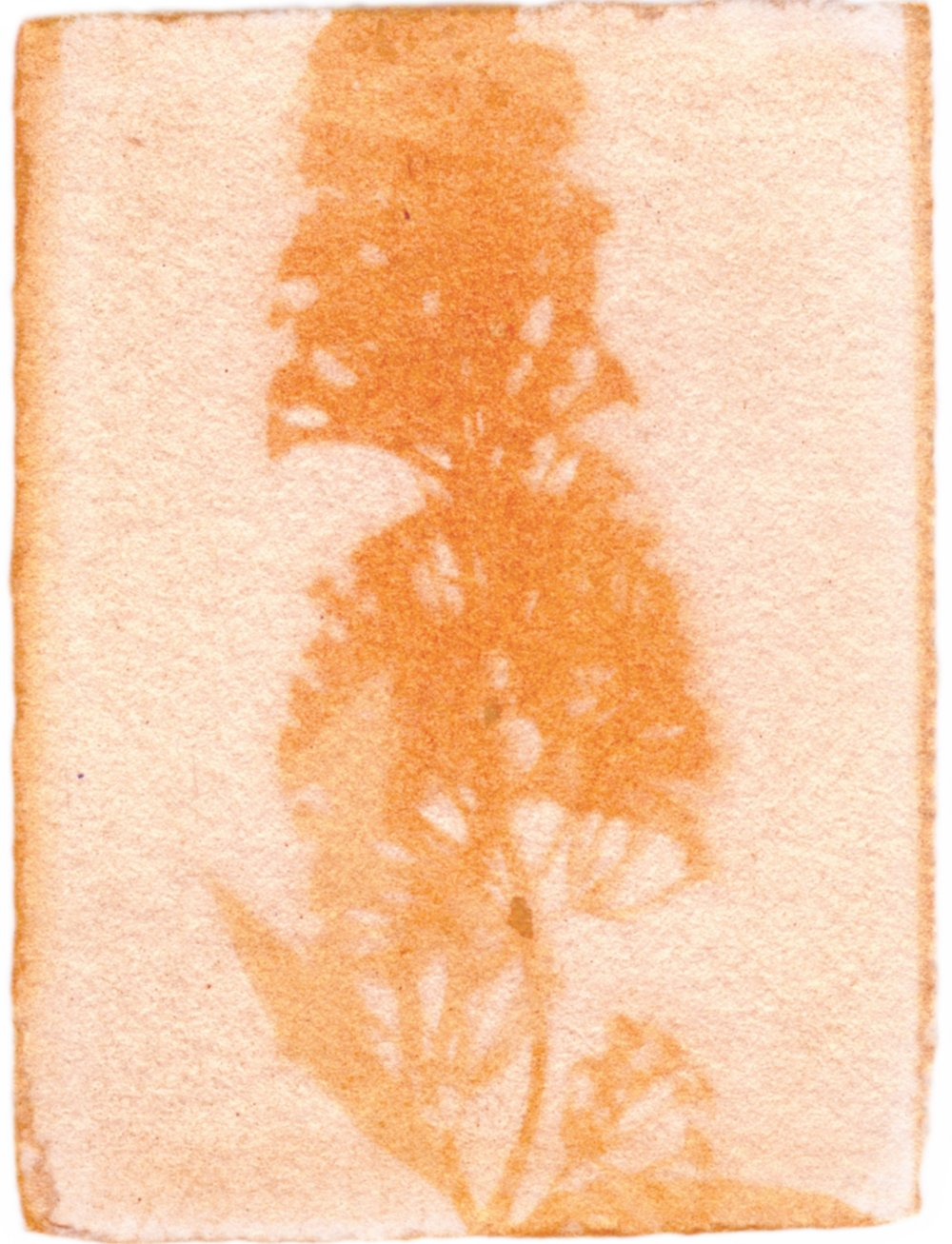 "Buddleia Plant with Achiote Emulsion, 3.5"" x 2.5"", 2017"