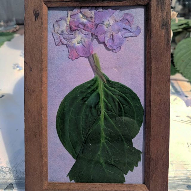 Hydrangea macrophyllas set up for exposures. Thank you @eileenkathrynboyd and your family for the amazing blooms! ... ... ... #Anthotype #AlternativeProcess #AltProcess #Photograms #Photography #HuntingtonHipster #PlantBased #PlantPortraits #KitchenOverChemistry #BobKozma #Bobisms