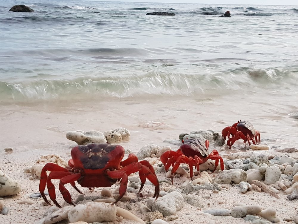 Red crabs on the morning of their spawning, waiting for incoming waves to wash over them before they release their eggs.
