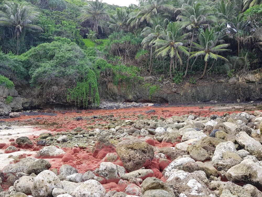 The shoreline covered in juvenile red crabs