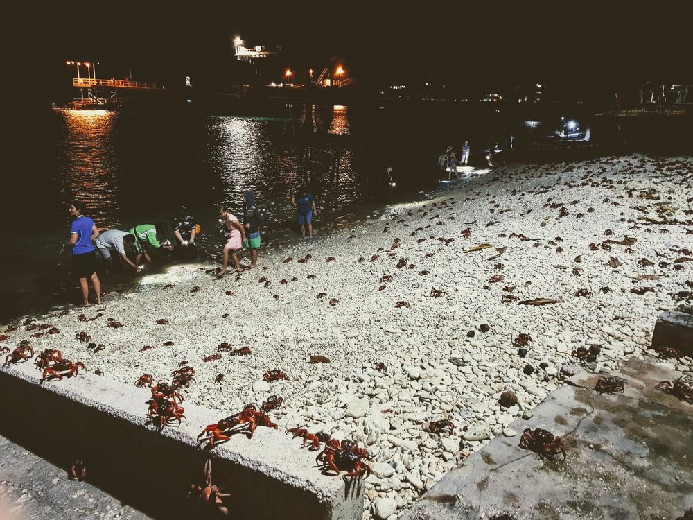 Spawning morning when the red crabs release their eggs into the ocean
