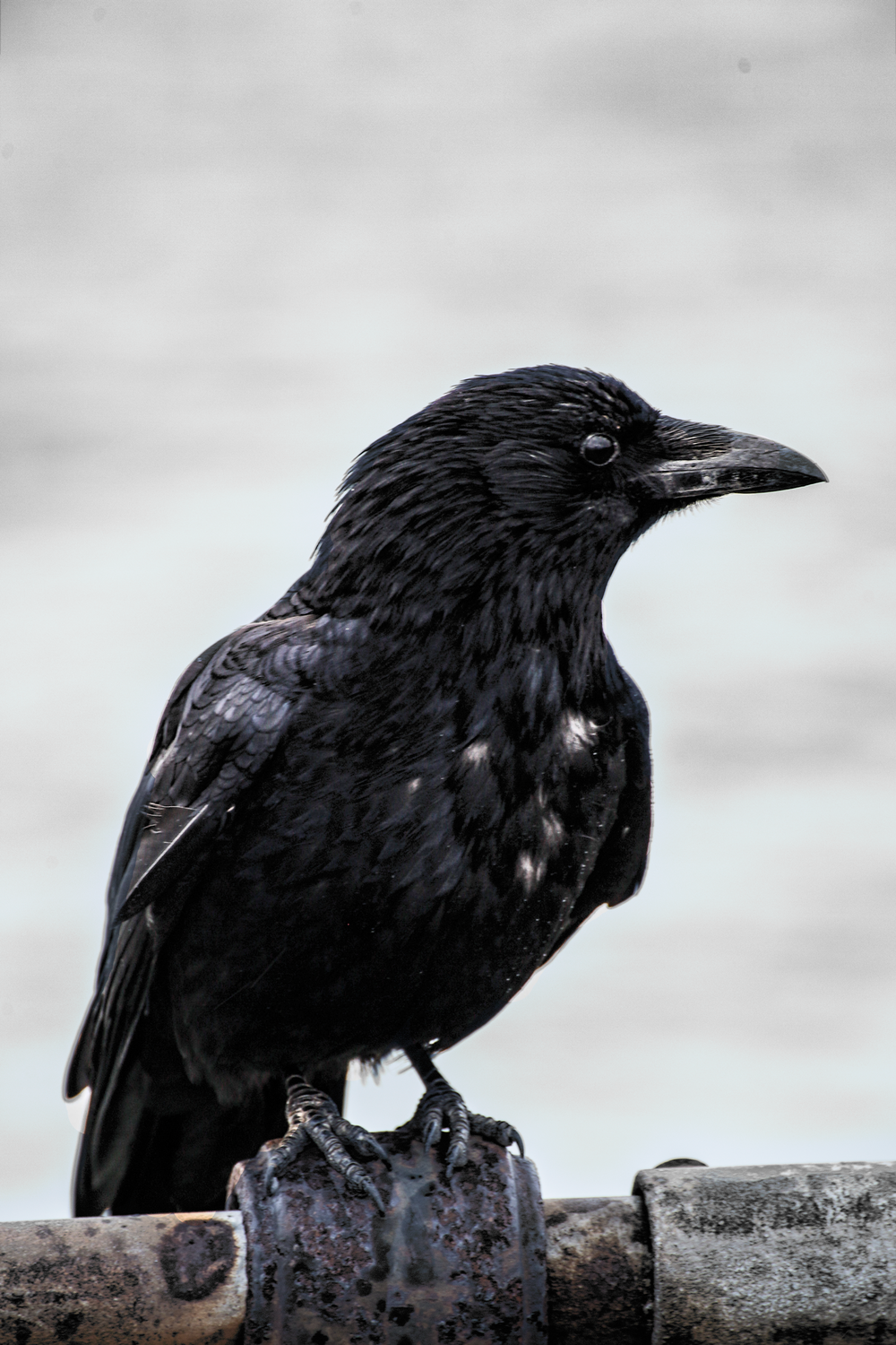 Crow-on-the-Pier.png