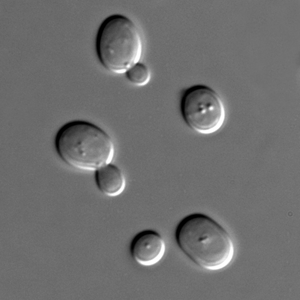 Saccharomyces cerevisiae. Photo courtesy of Masur/Public Domain.