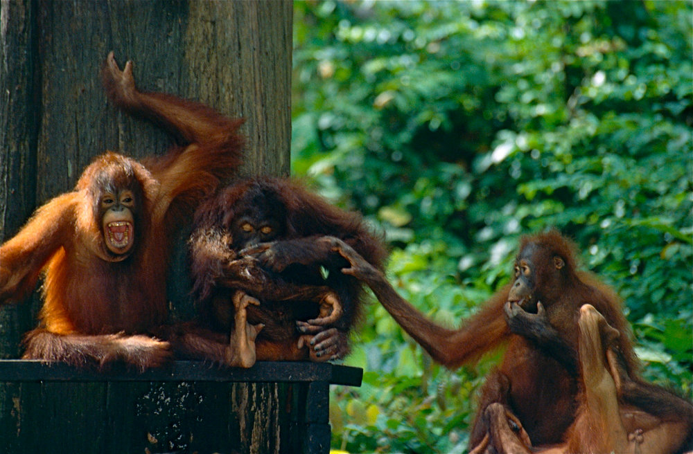 Orangutans. Photo courtesy of Bernard DUPONT from FRANCE/Creative Commons.