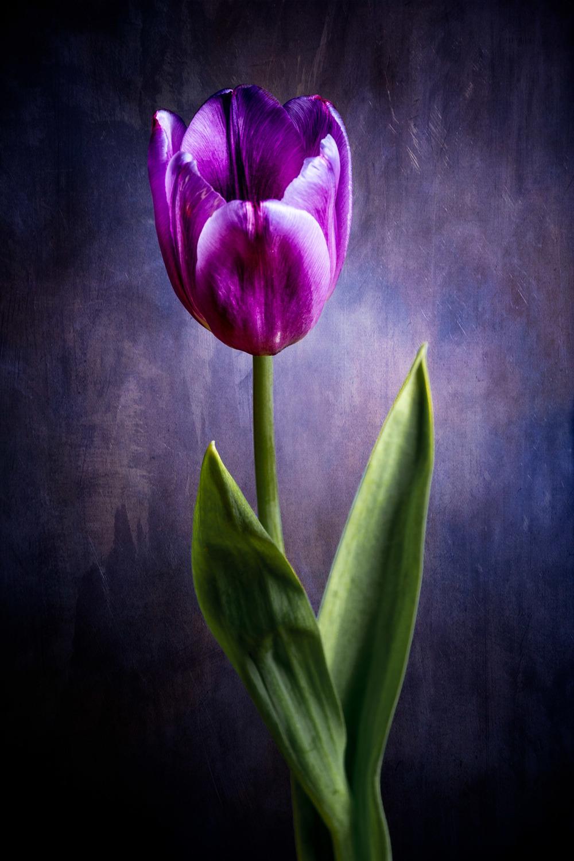 Tulip (Lilioideae)