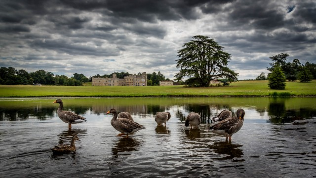 Leeds Castle Ducks
