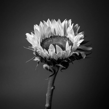 Sunflower fine art mono