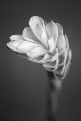 Red Ginger (Alpinia purpurata) fine art mono