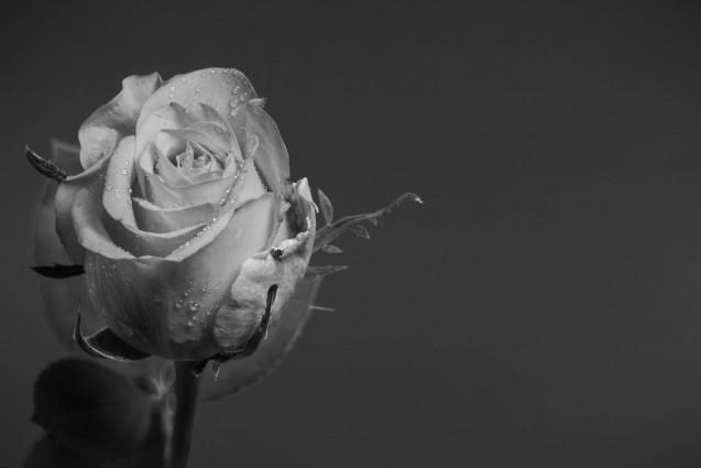 Fine art mono Rose