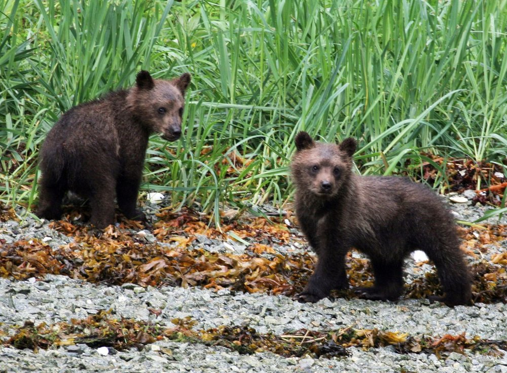 brown-bear-cubs.jpg