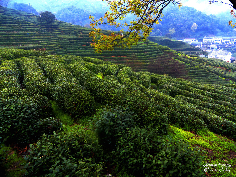 Hangzhou Tea Fields - We were lucky enough to visit China's most famous tea area during the peak season for authentic Chinese green tea. Suffice to say I brought more than a little home with me after visiting here.