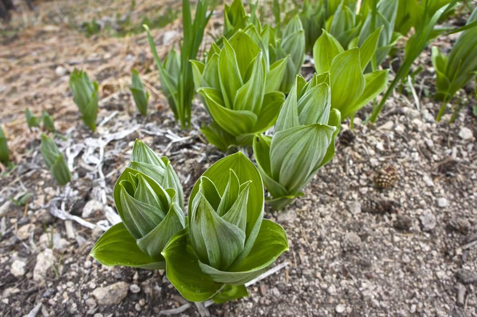 plants-in-sierra-nevada