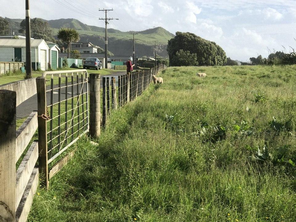 sheep-at-Mokau-new-zealand-north-island