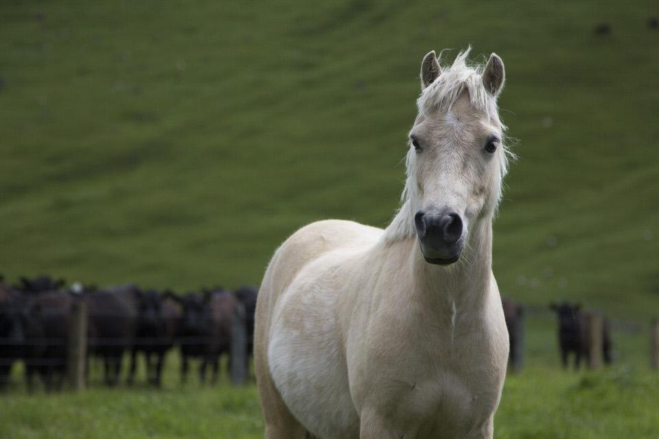 white-horse-new-zealand-north-island