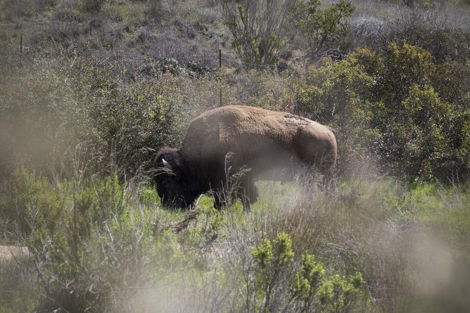 buffalo-catalina-island