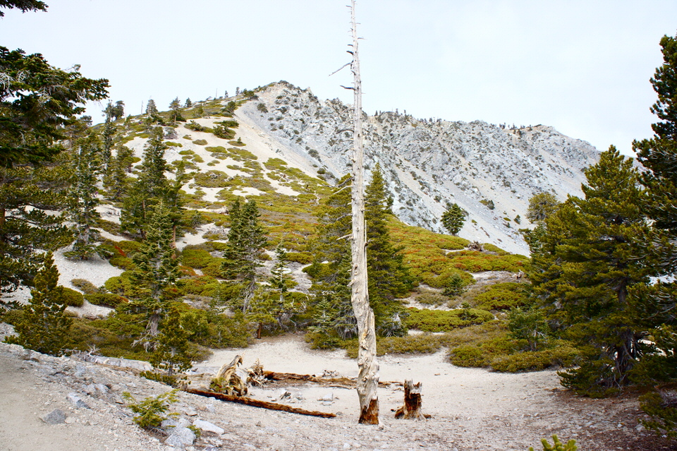 Your Ultimate Guide to Hiking Mount Baldy |  If you are based out of the Southern California area, then hiking Mount Baldy is one of the best hikes in California to do. Not only is it a great training hike for California's bigger 14er mountains, it can also be hiked in a fun but challenging 11 mile loop. You'll traverse it's well-known Devil's Backbone trail and summit the highest peak in Los Angeles County. A must-do hike for all Californians! | shedreamsofalpine.com
