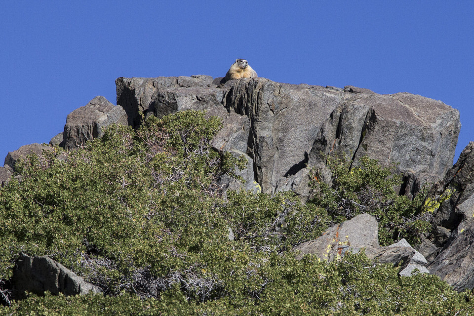 Marmot spotted sunbathing on rocks and dreaming about his next car-wire dinner.