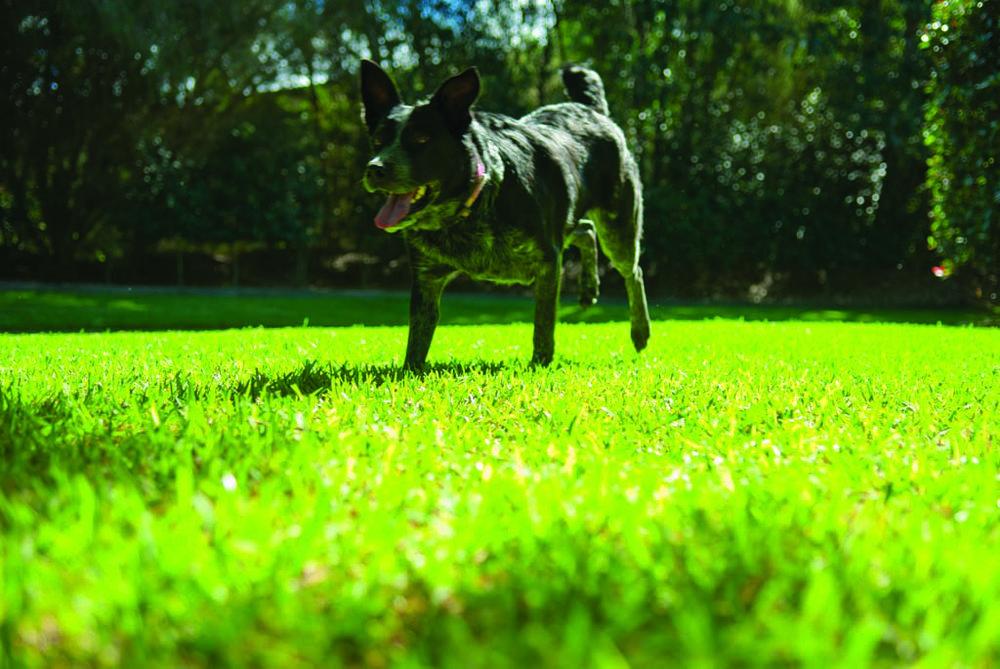 dog_lawn.jpg