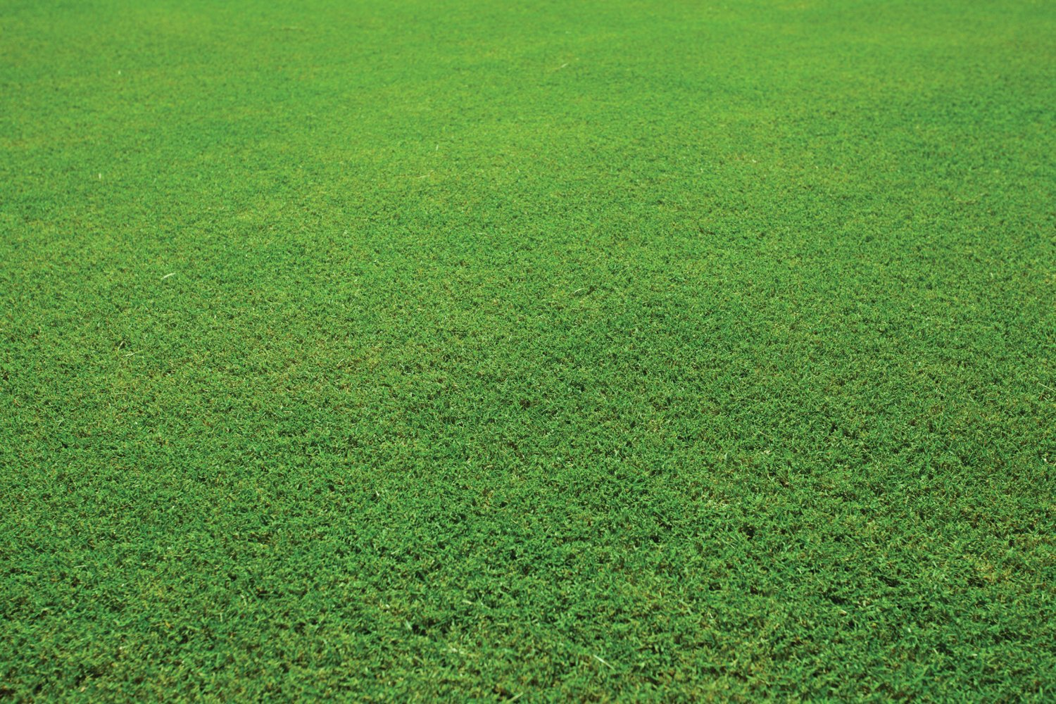 TifTuf_up_clse.jpg - Turf Farm Roll On Turf, Lawn & Grass Suppliers Perth, Western