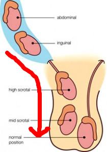 Image of testicle descending.jpg