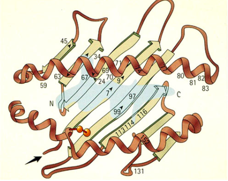 Schematic ribbon diagram of the HLA-B27 molecule's peptide-binding cleft with a bound peptide (light blue); the letters N and C indicate, respectively, the amino and carboxy termini of the bound peptide. HLA-B*27:06, one of the two subtypes that seem to have no association with ankylosing spondylitis, and the disease-associated subtype HLA-B*27:04 (from which Rebbi may have been suffering) differ from each other by two residues at positions 114 and 116. From Khan, MA.  Polymorphism of HLA-B27: 105 Subtypes Currently Known.     Current Rheumatology Reports  .  (2013) 15:362