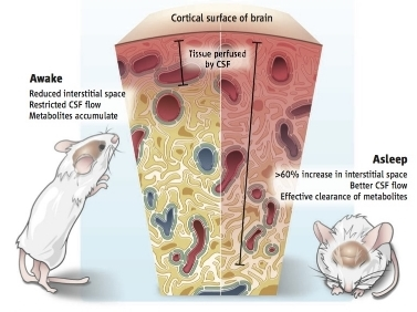 The extracellular (interstitial) space in the cortex of the mouse brain, through which cerebral spinal fluid moves, increases from 14% in the awake animal to 23% in the sleeping animal, an increase that allows the faster clearance of metabolic waste products and toxins. From Suzana Herculano-Houzel. Sleep it out.    Science    2013: 342; 316