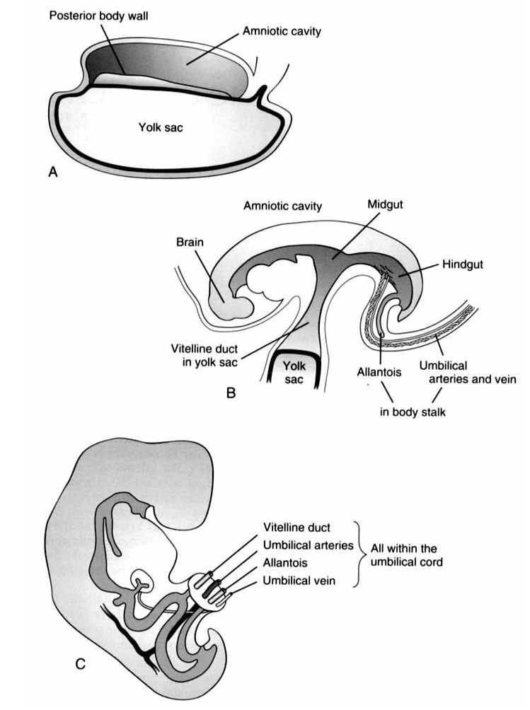 Development of the Umbilical cord.  A : The posterior body wall is established.  B : the vitelline duct form as the cells form a head and tail end, fold inwards on their lateral sides.   C :  The umbilical cord forms as the yolk sac and vitelline duct fuse. From O'Donnell K. Glick P, Caty M.    Pediatric Umbilical Problems  . Pediatric Clinics of North America. 1988 24 (1) 792.