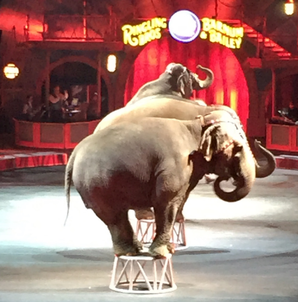 Elephants at the circus in Washington DC. two days ago. They demonstrated - just in time  - that Rebbi Zeira's suggestion was indeed workable. So long as you have a full time elephant trainer...