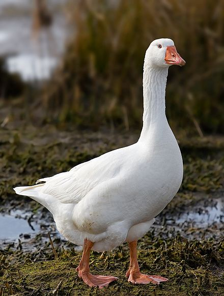 The  Emden goose , a species of domestic goose.