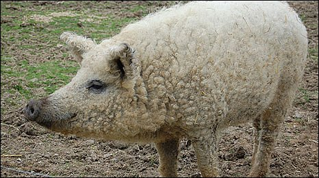 A pig in sheep's clothing? Nope. Just a pig.