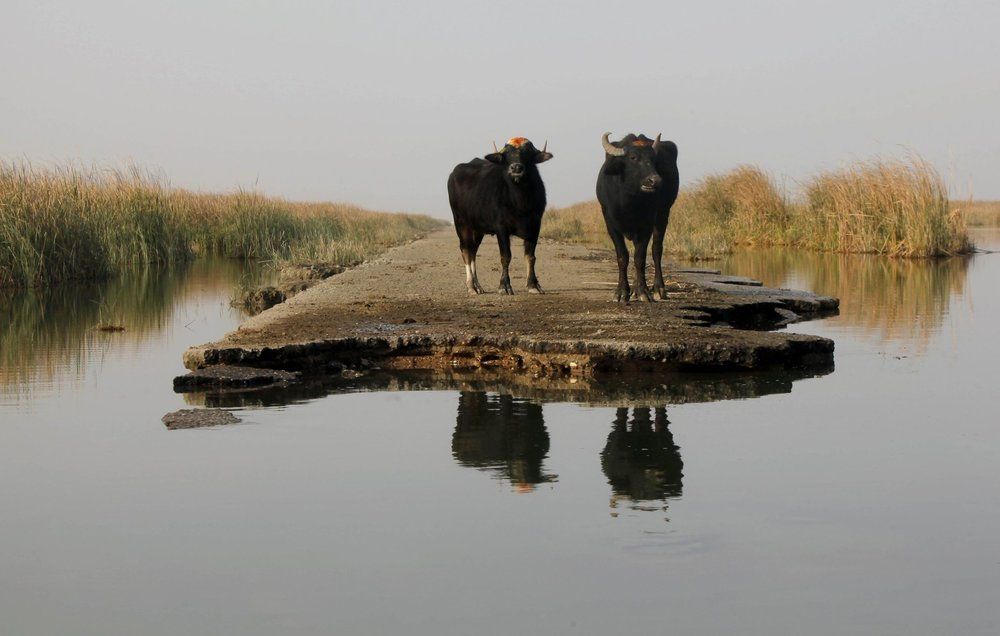 Two buffaloes gather by the waters of the Chebayesh marsh in Nassiriya, southeast of Baghdad, February, 2015. Image from  here .