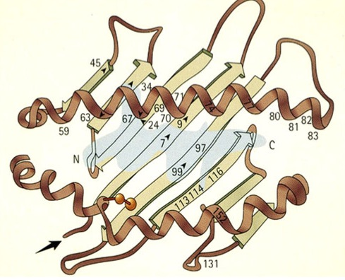 Schematic ribbon diagram of the HLA-B27 molecule's peptide-binding cleft with a bound peptide (light blue); the letters N and C indicate, respectively, the amino and carboxy termini of the bound peptide. HLA-B*27:06, one of the two subtypes that seem to have no association with ankylosing spondylitis, and the disease-associated subtype HLA-B*27:04 (from which Rebbi may have been suffering) differ from each other by two residues at positions 114 and 116. From Khan, MA.  Polymorphism of HLA-B27: 105 Subtypes Currently Known.  Current Rheumatology Reports. (2013) 15:362
