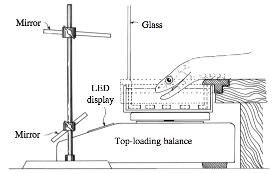 In case you were wondering how we know how snakes drink, here is a diagrammatic view of the apparatus used to record the kinematics and water transport during drinking. The video camera was placed to the left. LED, light-emitting diode. From Cundall, D. Drinking in snakes: kinematic cycling and water transport. The Journal of Experimental Biology. 2000; 203, 2171–2185.