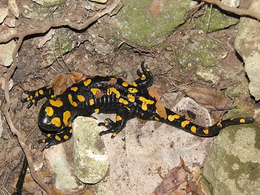 The Near Eastern Fire Salamander, (S alamandra infraimmaculata)
