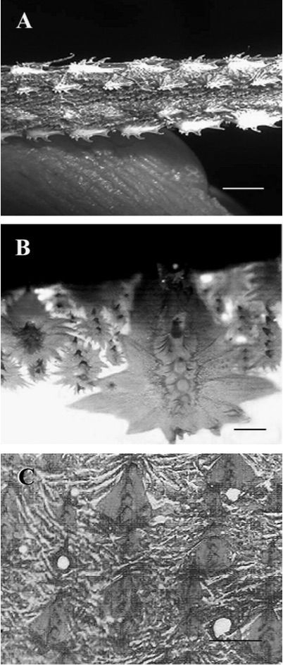 Scales of  Xiphias gladiu s . (A) Photograph of the ventral aspect of a pre-served larvae 114 mm long (scale bar 1.5 mm). (B) Photograph of a cleared and stained biopsy of the lateral flank of a 150 mm larvae (scale bar 0.3 mm). (C) Photograph of a cleared and stained biopsy of the lateral flank of a 102 cm juvenile (scale bar 0.6 mm). From Govoni, JJ. et al. Ontogeny of Squamation in Swordfish, Xiphias gladius.  Copeia , 2004(2), pp. 391–396.