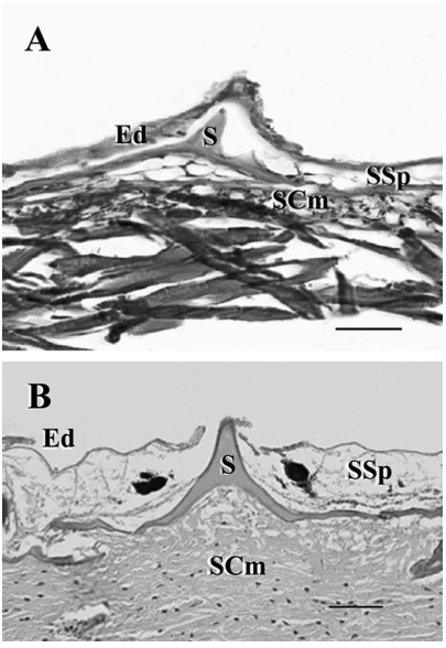 Photomicrographs of the integument and scales of Xiphias gladius. (A) The integument with scale (S), epidermis (Ed), and dermis with stratum spongiosum (SSp), stratum compactum (SCm) of a 22.2 mm larvae (scale bar 63 m). (B) The integument of a 330 cm adult (scale bar 45 m). From Govoni, JJ. et al. Ontogeny of Squamation in Swordfish, Xiphias gladius.  Copeia , 2004(2), pp. 391–396.