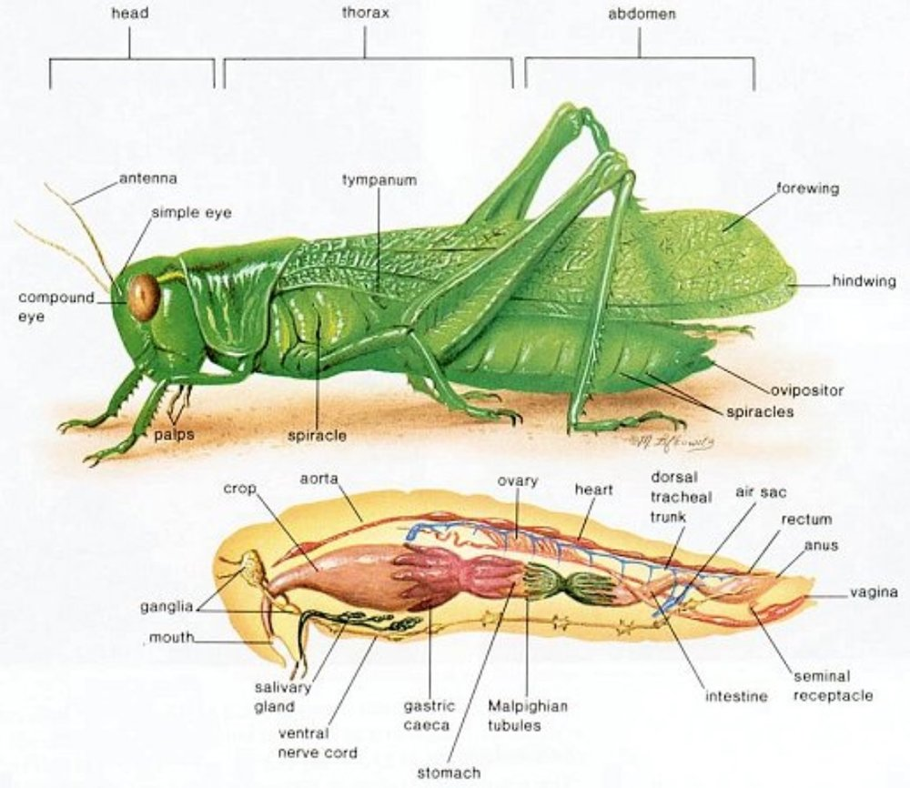 Grasshopper Invertebrate Body Parts Diagram - Data Wiring Diagrams •