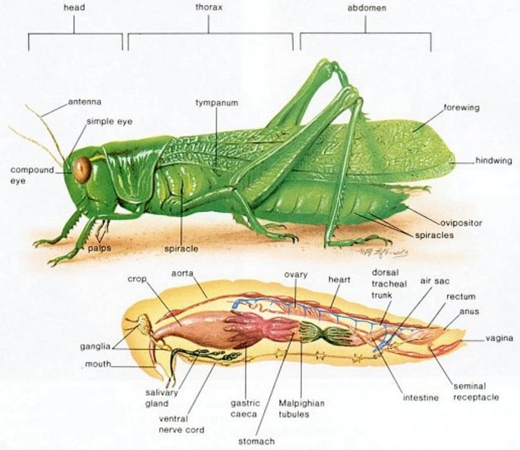 Avodah Zarah 51a The Neck Of A Grasshopper Talmudology