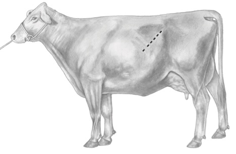 Standing left oblique celiotomy approach. The placement of the incision is indicated by the dashed line. From Schultz L.G. et al.  Surgical approaches for cesarean section in cattle.   Can Vet J  2008;49:565–568