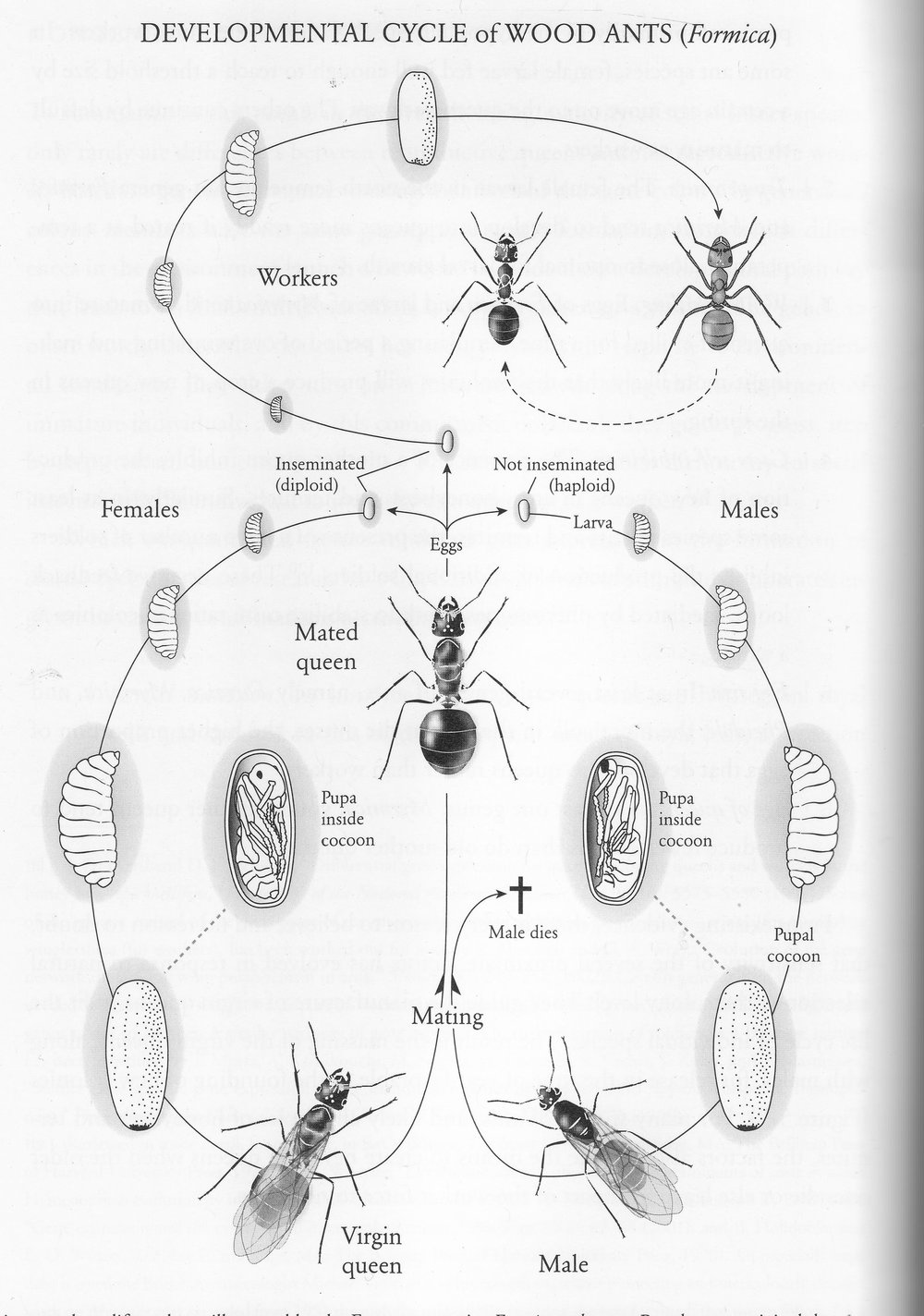 Basic ant colony life. From and Holldobler and Wilson.  The Super-Organism ;  The Beauty. Elegance and Strangeness of Insect Colonies.  Norton 2009. 138