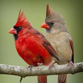 cardinal-pair-sideways-bonnie-t-barry-285.jpg