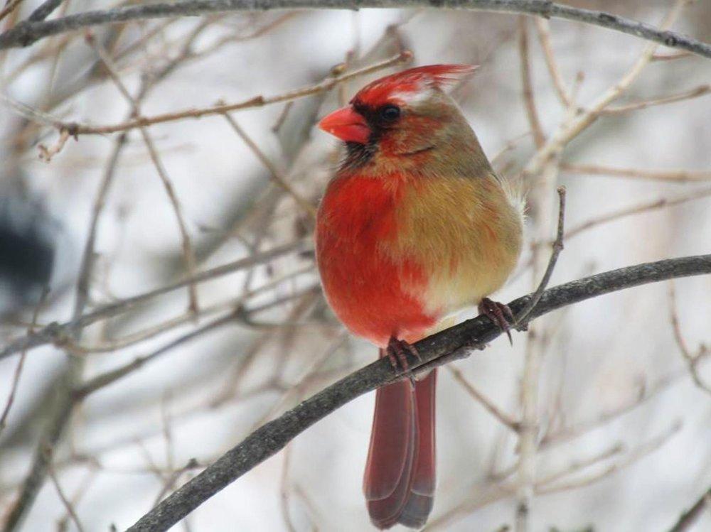 Split sex Cardinal.jpg