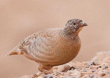 A lady sand partridge. No white facial markings.