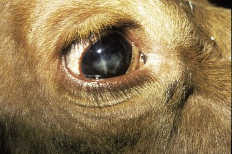 A cow with a cataract.
