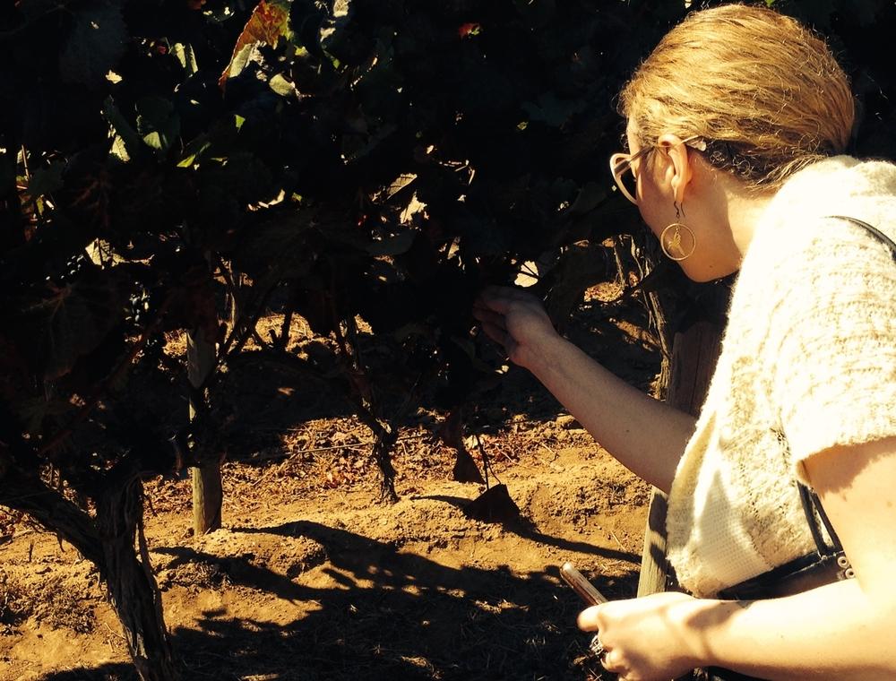 picking a grape!