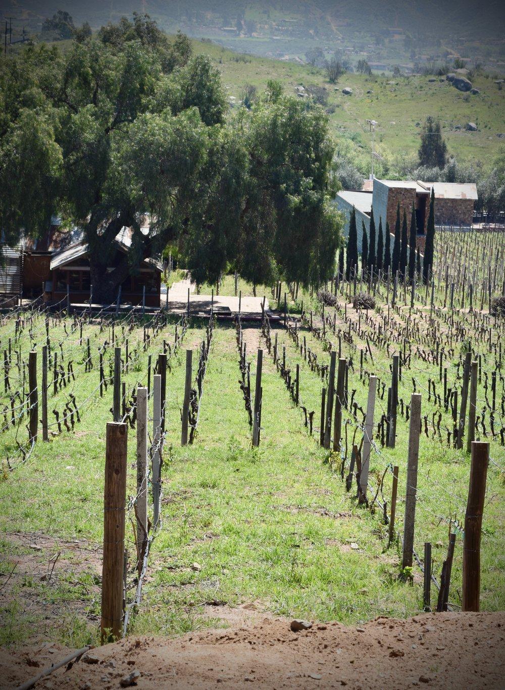 casa de piedra- more grape vine stakes.jpg