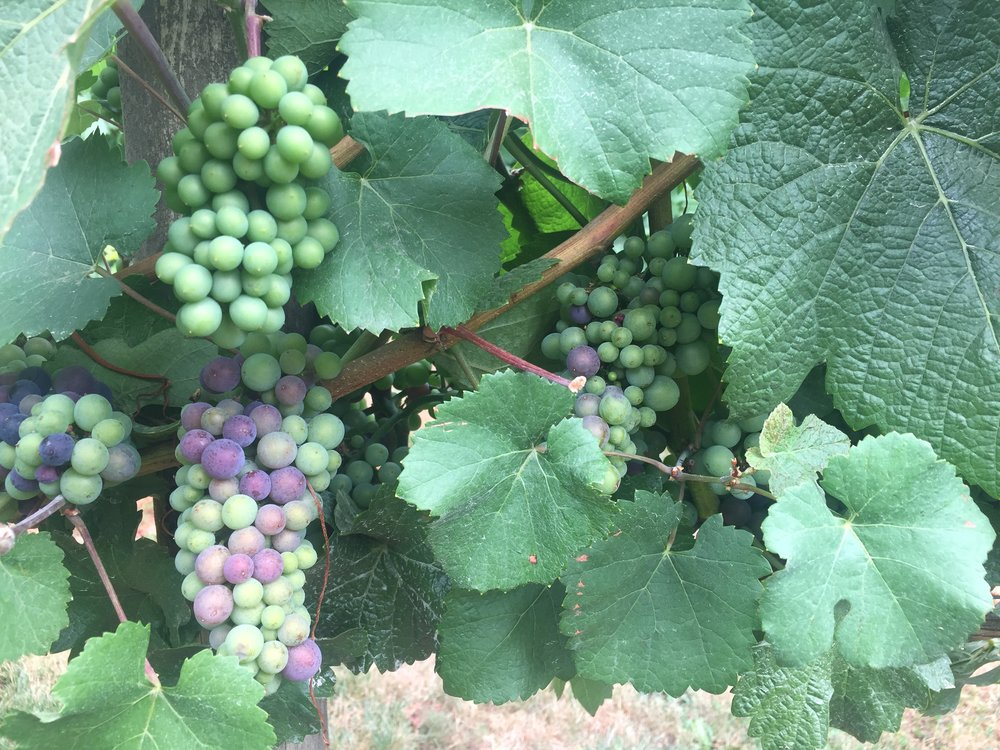 Some healthy looking Pinot Noir grapes in The Willamette Valley, Oregon. Photo by Gabriel Manzo.